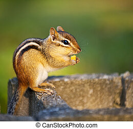 Cute wild chipmunk holding peanut with paws and eating