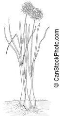 Wild Chive - Allium schoenoprasum