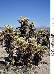 Stunning wild cholla cactus on the desert floor.