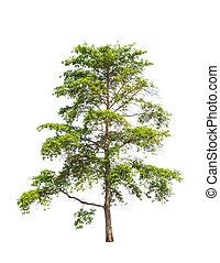 Wild Cinchona tree (Anthocephalus chinensis), tropical tree ...