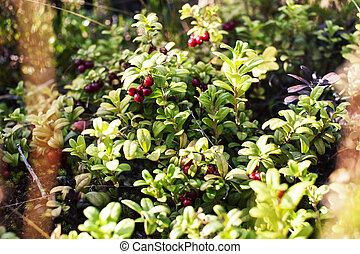 wild, closeup, natur, forrest, lingonberry