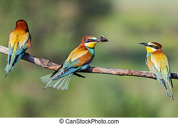 wild colorful birds threesome sitting on a branch