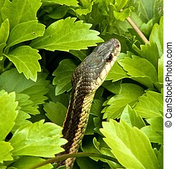 Wild Common Garter Snake in Pachysandra