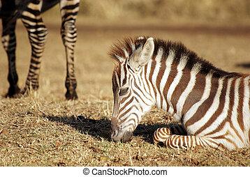 Wild common zebra baby grazing