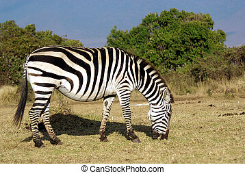 Wild common zebra grazing