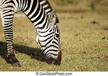 Wild common zebra grazing portrait