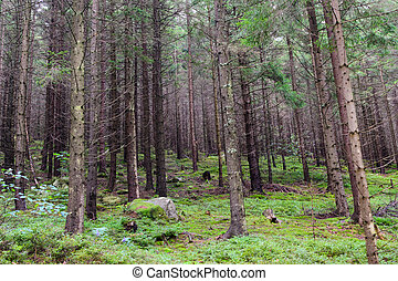 Wild coniferous forest landscape with tall trees