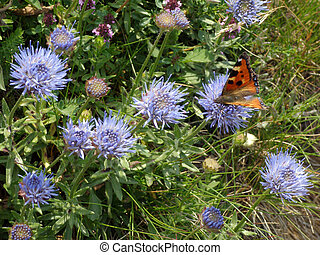 Wild cornflowers and visiting butterfly
