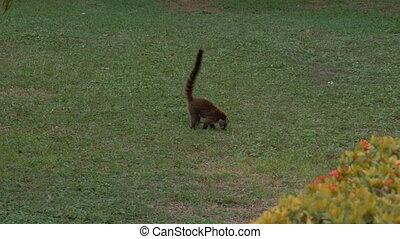 Wild Costa Rica coati foraging for food. - A coati exploring...