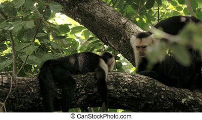 Wild Costa Rica White Faced Monkeys Relaxing in the...