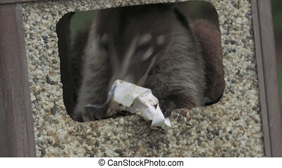 Wild Costa Rican coati foraging a garbage can for food. 4K...