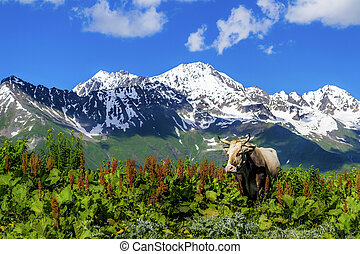 Wild cow in the mountains