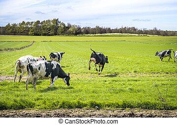 Wild cows enjoy their first time on green grass