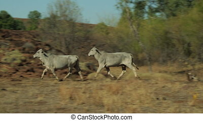 Wild cows in the outback running - A wide tracking shot of...