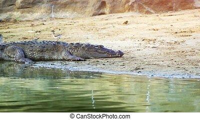 Wild Crocodile Basking in the Sun in Sri Lanka. FullHD 1080p...
