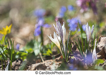 Wild crocus with water drops surrounded by spring pearls on...