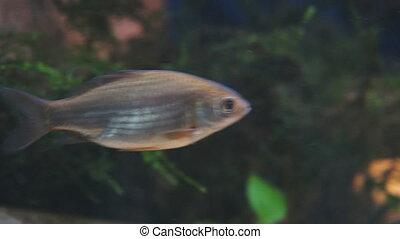 Wild Crucian carp in the aquarium