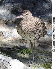 Wild curlew, freshwater bird.