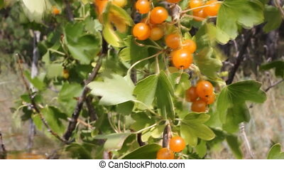 Wild currants berry 18494