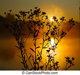 Wild daisies in backlit at dawn