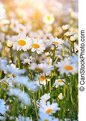 Wild daisies in morninglight