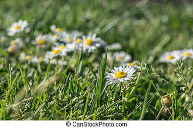 Wild daisies in the grass top view