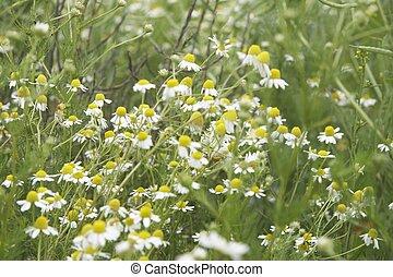 wild daisies - landscape