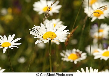 wild daisies on meadow