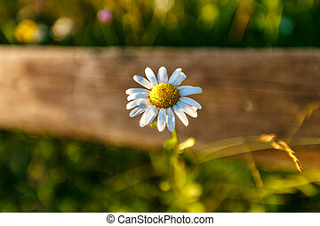 Wild daisy flower on a wooden fence on a sunny day.