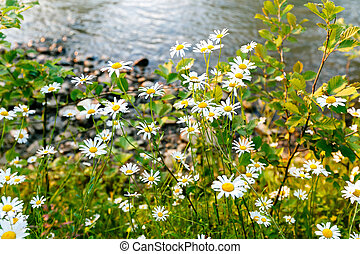 Wild daisy flowers on the banks of the river on a sunny day.