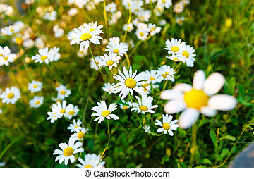 Wild daisy flowers on the field on a sunny day