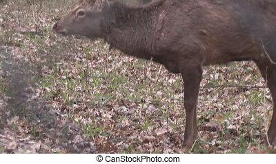 deer  - wild deer grazing in a fenced