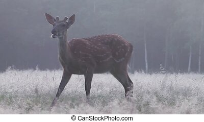 Wild deer in a thick fog at dawn - Wild spotted deer grazing...