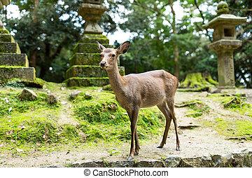 Wild deer in Japanese temple