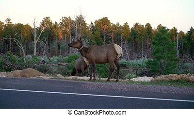 Wild deer near road - Wild deer near highway road