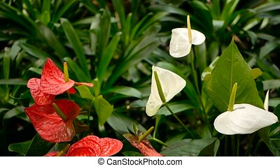 Wild delicate poisonous Calla lily with yellow stamen...