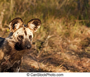 Wild dog closeup walking in grass on hunt