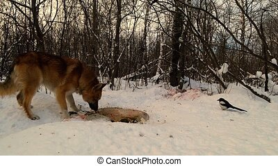 wild dog eats animal remains lying on snow in winter forest