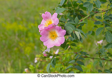 Wild dog-rose in time of blossoming at early summer season