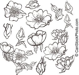 Wild dog rose set flowers contour ink adult coloring page with buds drawing vector clipart on white background for scrapbooking