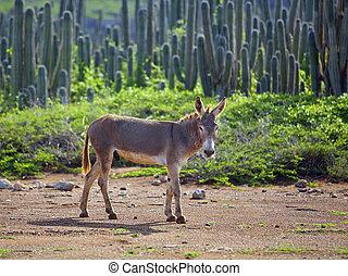 Wild Spanish donkey among cactuses on Bonaire, Caribbean