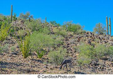 Wild donkeys, at the Lake Pleasant Regional Park in the ...