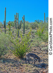 Wild donkeys, at the Lake Pleasant Regional Park in the...