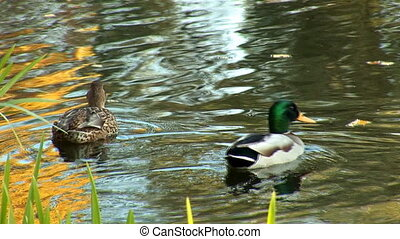 wild duck swimming in pond