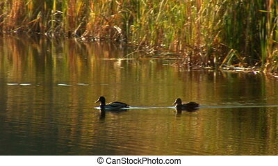 wild ducks swimming in pond