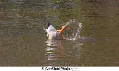 Wild Duck (anas platyrhynchos) male swimming, dabbling in ...