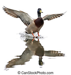 Wild Duck (Anas platyrhynchos) - Wild Duck landing in water...