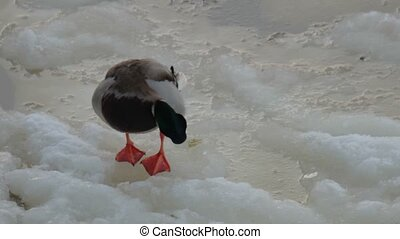 Wild duck cleaninf on ice view - Wild duck cleaninf on ice...