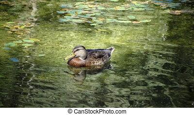 Wild duck family Anas platyrhynchos on floating log. close ...