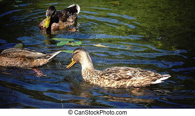 Wild duck family (Anas platyrhynchos) on floating log.close up in sunny day